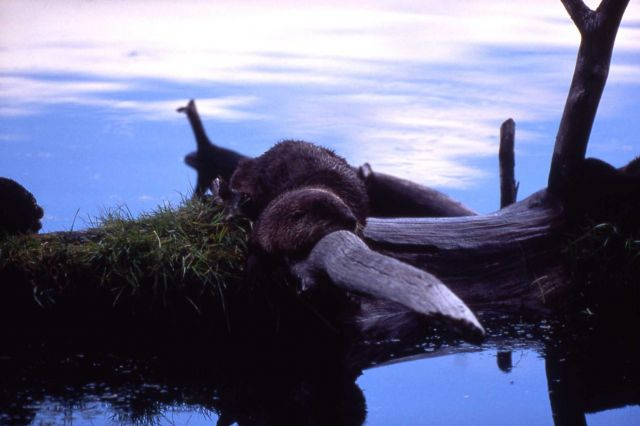 Otter asleep on a log at Trout Lake Picture