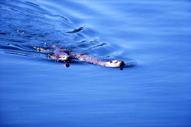 Two otters swimming at Trout Lake Picture