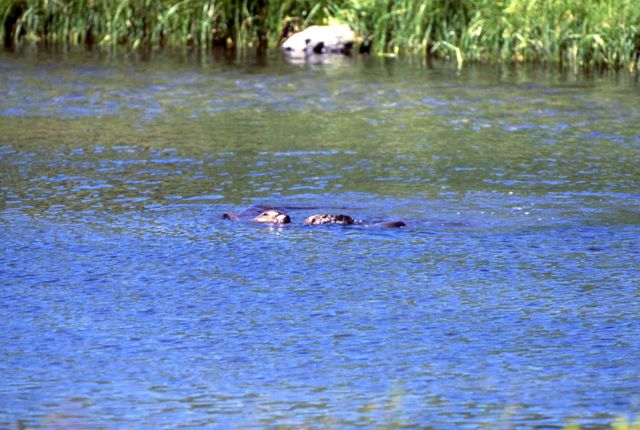 Otters playing at Trout Lake Picture