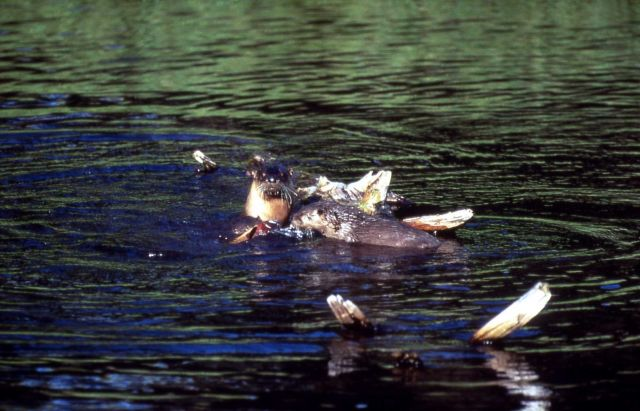 Three otters with fish at Trout Lake Picture