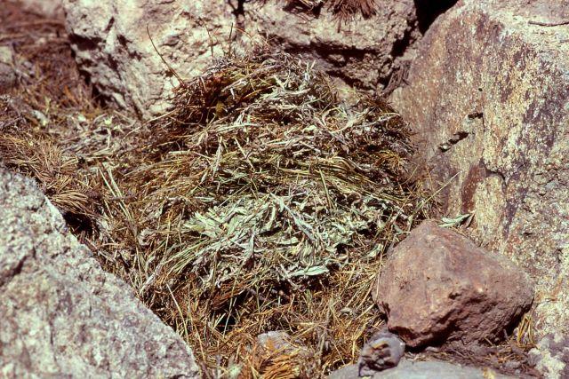 Pika haystack Picture