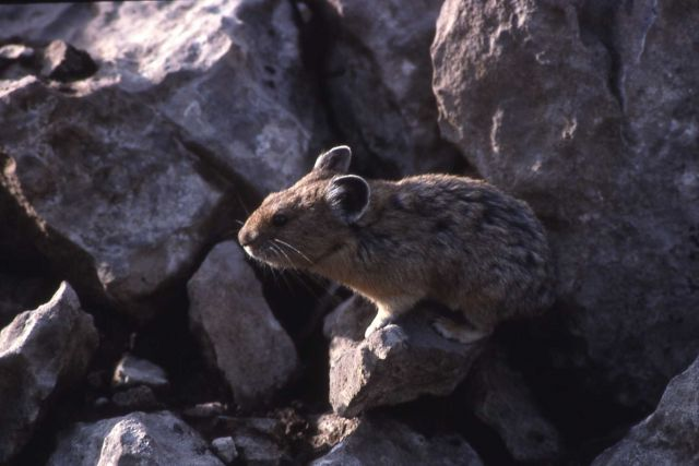 Pika near the northeast entrance Picture