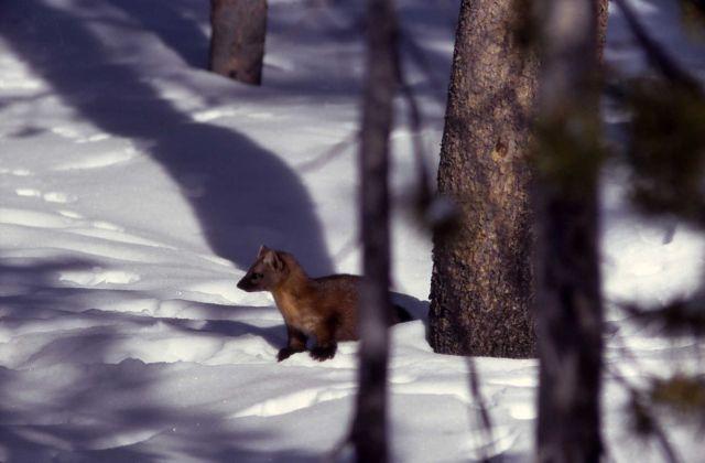 Pine marten Picture