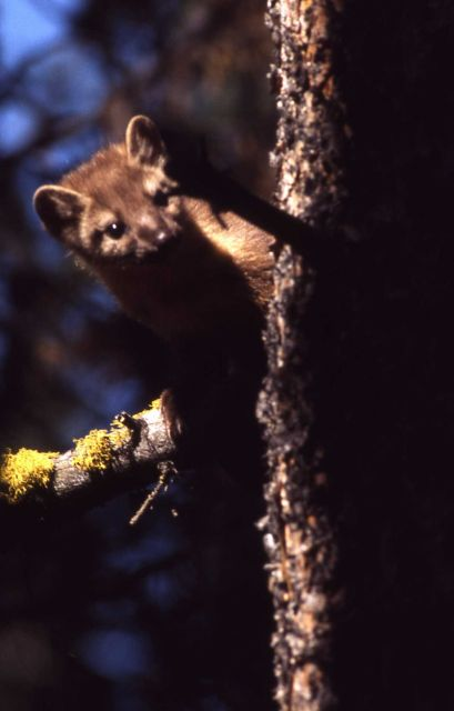 Pine marten in tree Picture