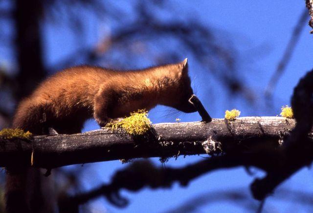 Pine marten on branch Picture