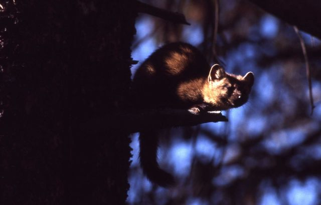 Pine marten crouched on stub Picture