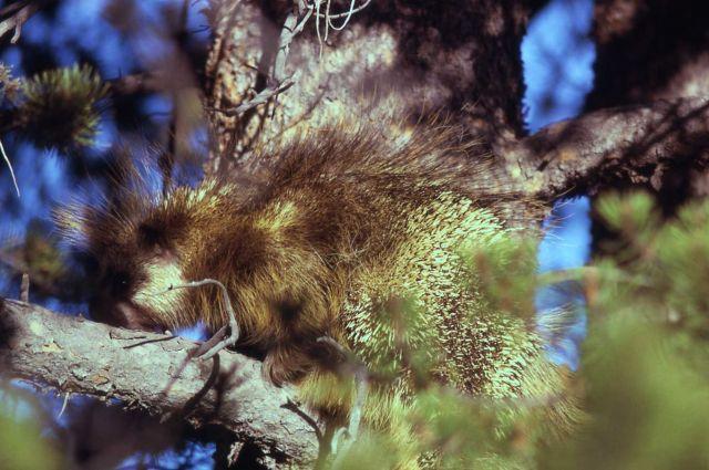 Porcupine Picture