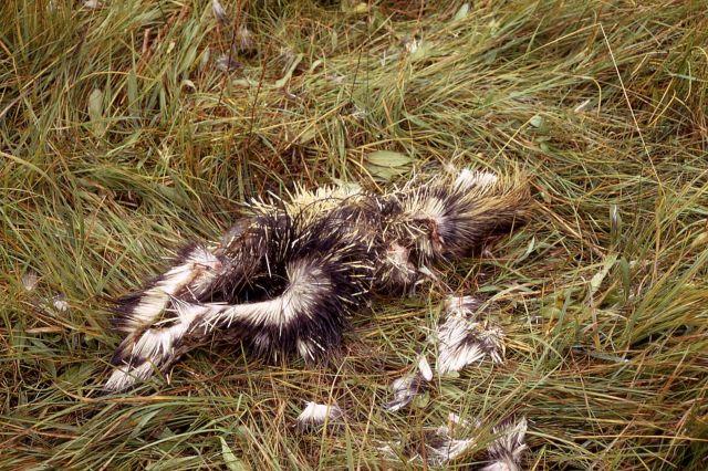 Eaten porcupine Picture
