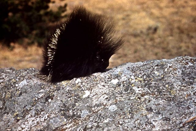 Porcupine in the Tower Falls area Picture