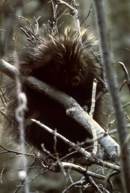 Front view of a porcupine with its front paws on a branch Picture