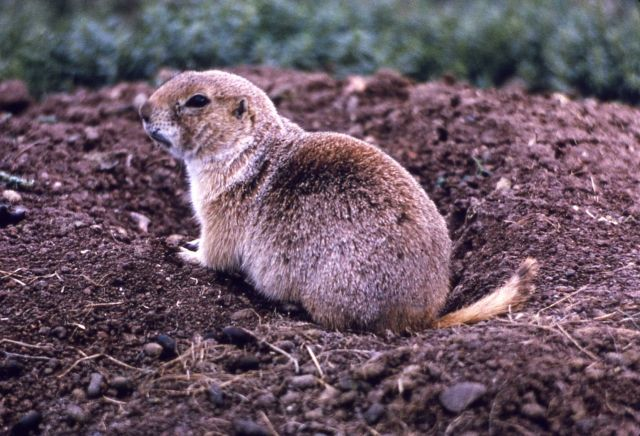 Prairie dog at Wind Cave, South Dakota Picture