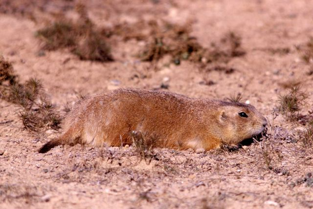 Prairie dog at Devil's Tower, Wyoming Picture