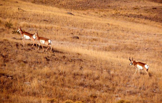 Pronghorn antelope buck & harem Picture
