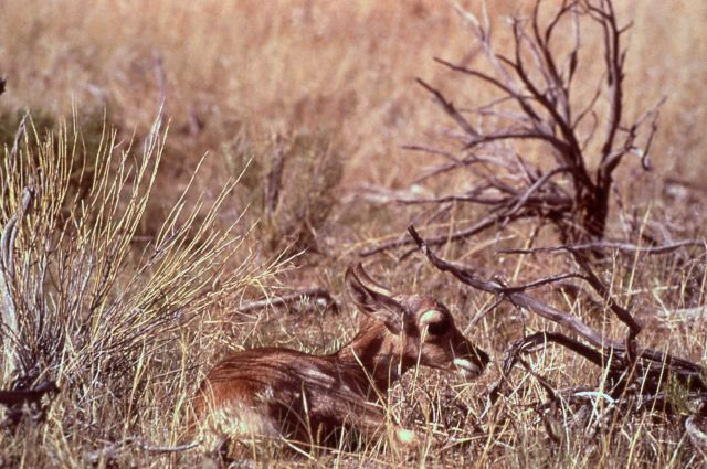 Pronghorn antelope kid Picture