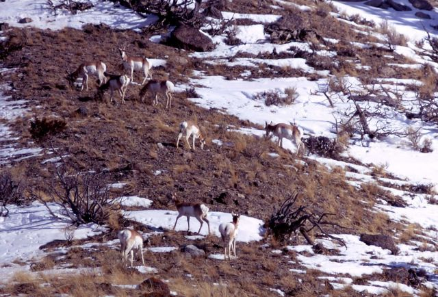 Pronghorn antelope on hillside Picture