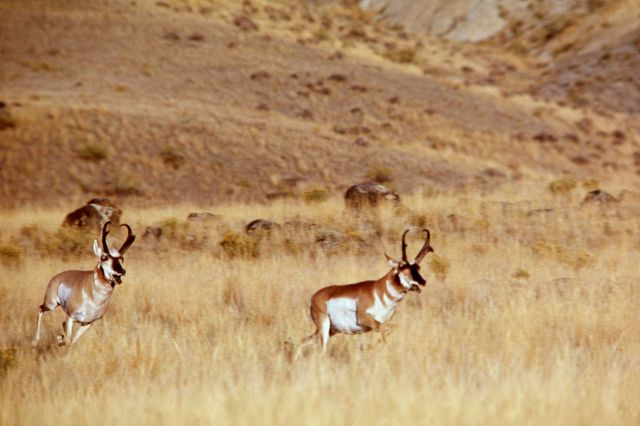 Pronghorn antelope bucks Picture