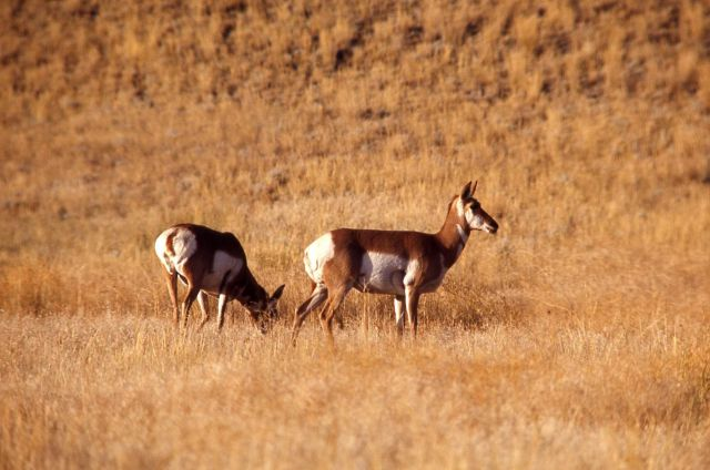 Pronghorn antelope does Picture
