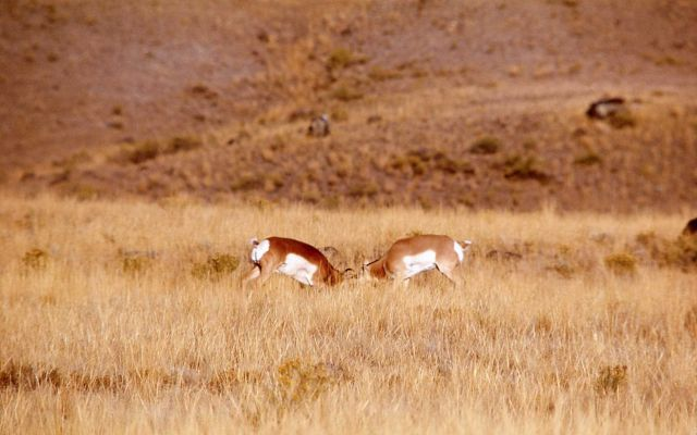Pronghorn antelope bucks fighting Picture