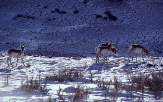 Pronghorn antelope in snow Picture