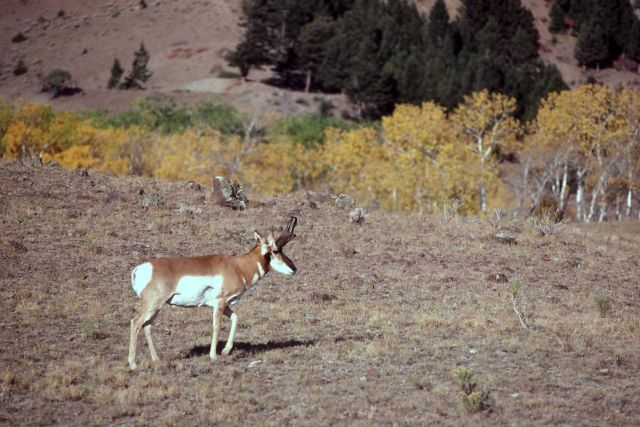 Pronghorn antelope with fall colors in background Picture