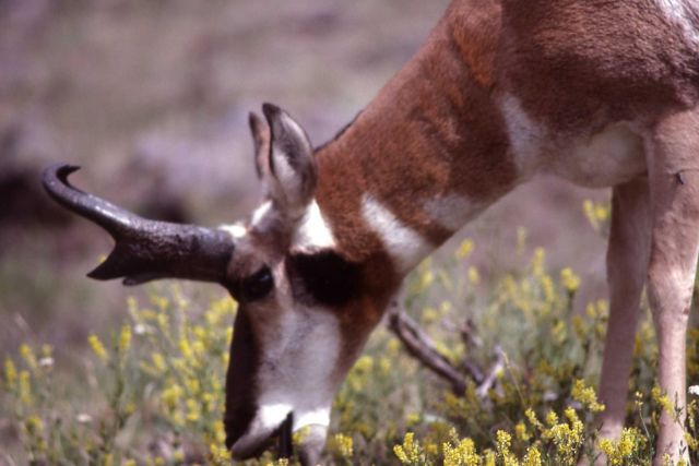 Close up of a pronghorn antelope buck Picture