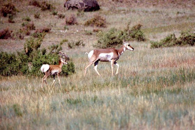 Pronghorn antelope doe & kid Picture