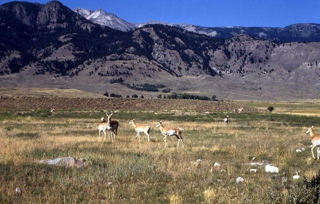 Pronghorn antelope in Gardiner, Montana Picture