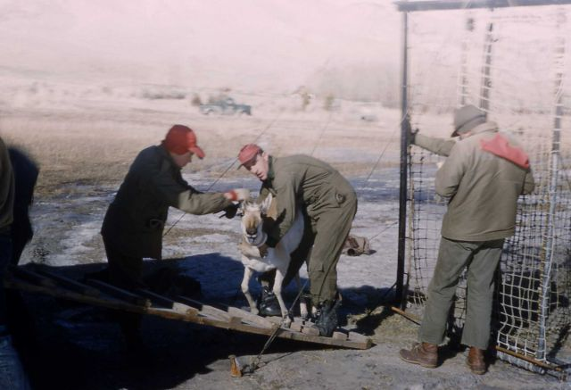 Pronghorn antelope trap Picture