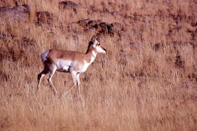 Pronghorn antelope doe Picture