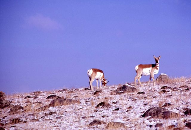 Pronghorn antelope buck & doe Picture