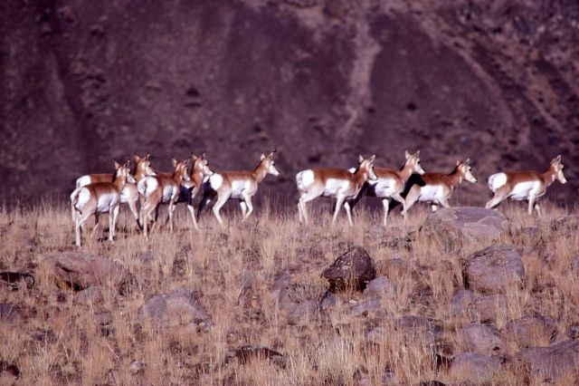 Group of pronghorn antelope does Picture
