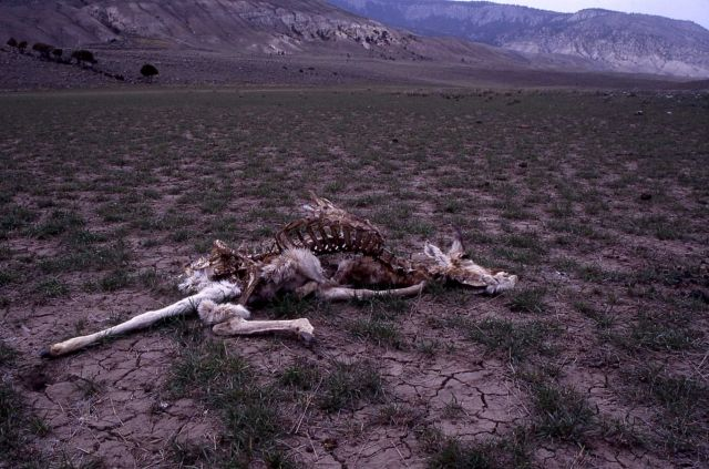 Pronghorn antelope carcass near Stephens Creek Picture
