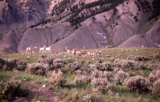 Pronghorn antelope near Mammoth Hot Springs with Mt Everts in the background Picture
