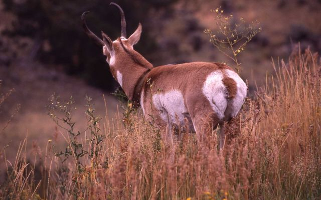 Collared pronghorn antelope Picture