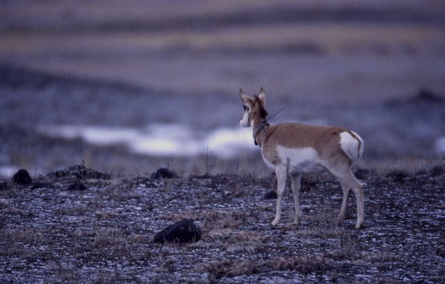 Collared pronghorn antelope near Stephens Creek Picture