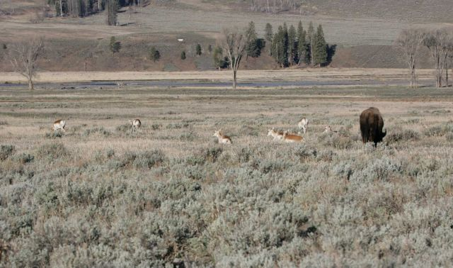 Pronghorn & bison in Lamar Valley Picture