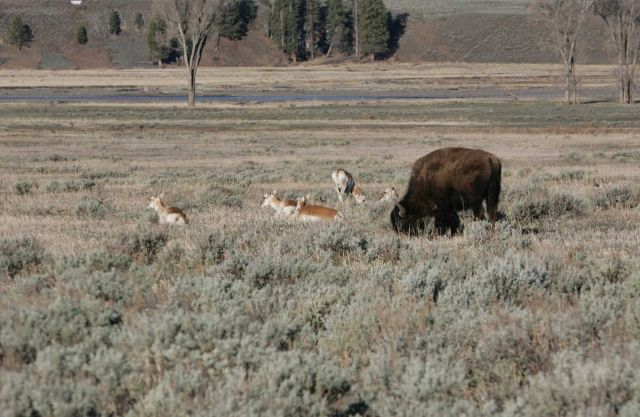 Pronghorn bison in Lamar Valley Picture