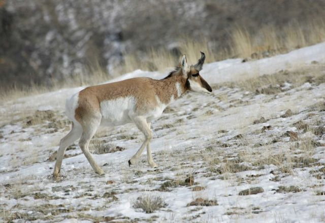 Pronghorn buck northwest of Gardiner, MT Picture