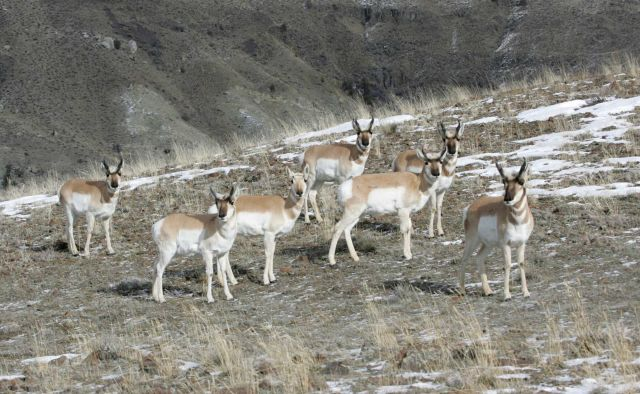 Pronghorn northwest of Gardiner, MT Picture