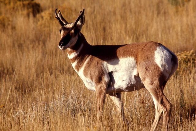 Pronghorn antelope buck Picture