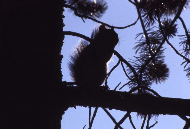 Red squirrel silhouette Picture
