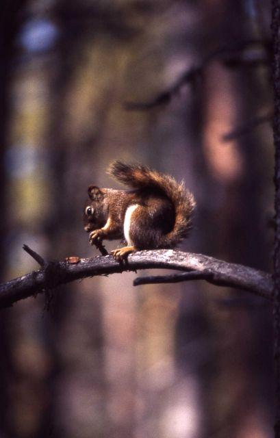 Red squirrel on limb Picture