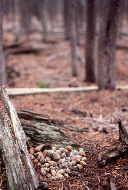 Red squirrel cache Picture