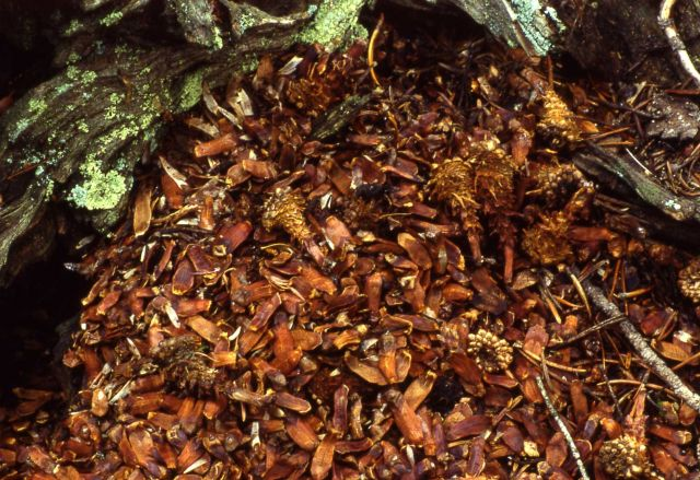 Red squirrel pine cone midden Picture