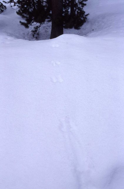 Red squirrel tracks in snow in the Old Faithful area Picture