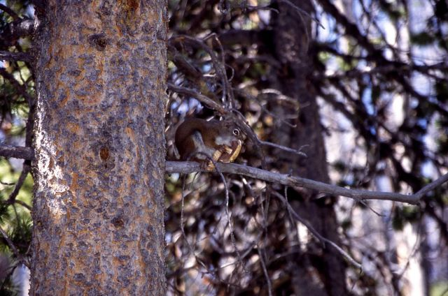 Red squirrel eating mushroom in tree on the Cascade Lake trail Picture