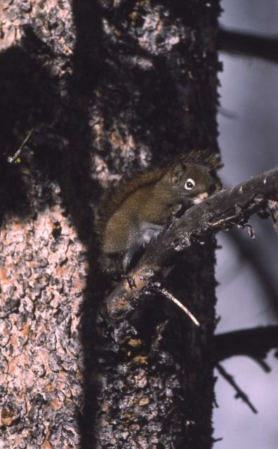 Red squirrel in lodgepole pine tree Picture