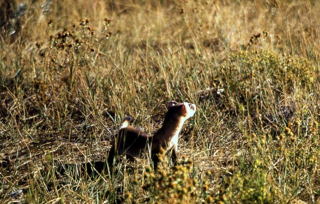 Blackfooted ferret Picture