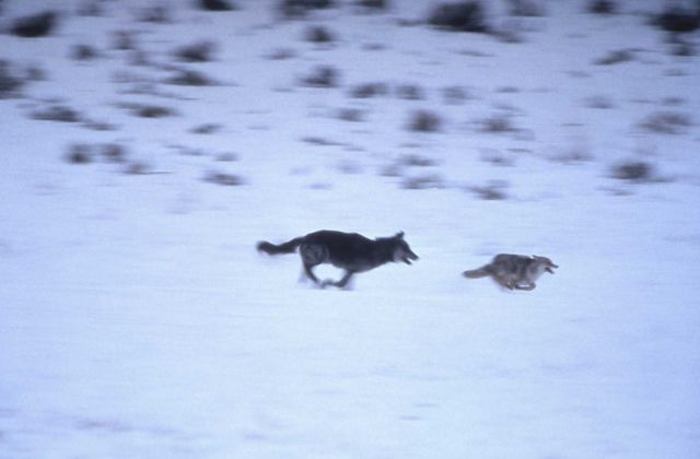 Wolf chasing coyote Picture