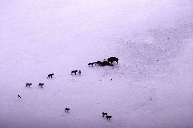 Wolves on bison kill with another bison standing by Picture